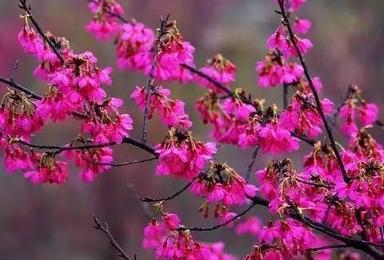 樱花摄影 郴州樱花园 汝城温泉 万时山草原脚踏三省(3日行程)