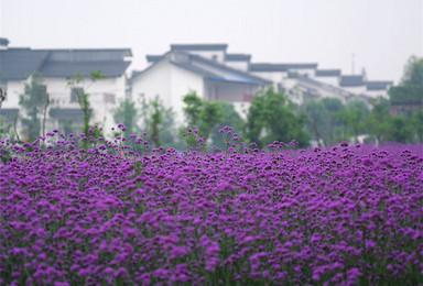 夏季结伴新疆 行摄花的海洋 草原的奔放(8日行程)