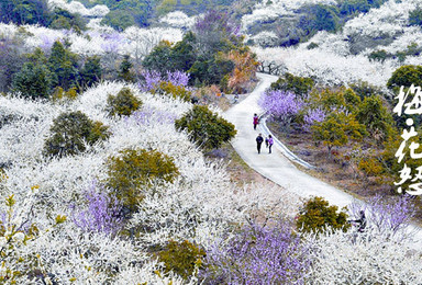 惠州梁化赏梅花 国内最大规模梅园 花开正盛 徒步户外猎奇(1日行程)