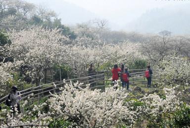 广州出发从化星溪线 竹林休闲徒步赏李花 户外体验 品尝竹筒饭(1日行程)