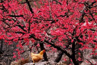 河源连平赏鹰嘴桃花 休闲徒步 矮山奇石 摄影 品客家美食(1日行程)