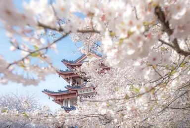 阳春四月江南岸 鼋头渚樱花最美时(1日行程)