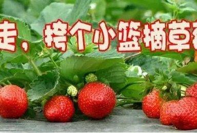 走进大鹏古城 农家乐自助野炊 杨梅坑环海单车摘草莓(1日行程)