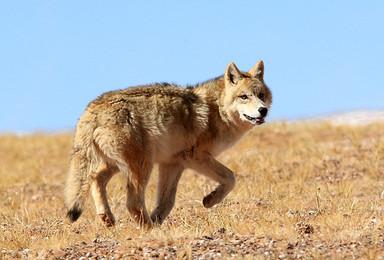 跟随藏羚羊迁移的脚步 走进可可西里(8日行程)