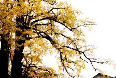 邂逅华东最美秋色 指南村赏银杏红枫 走进诗一般的世界(1日行程)
