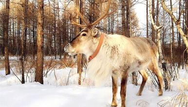呼伦贝尔穿越 圣诞北极滑雪场 敖鲁古雅驯鹿园 徒步白桦林(6日行程)