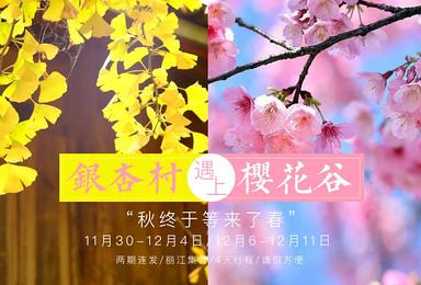 当金秋银杏遇上醉粉樱花 你说秋终于等来了春(5日行程)