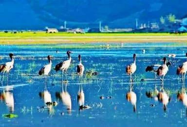 香格里拉纳帕海 草海湿地拍鸟 响鼓箐滇金丝猴摄影团(8日行程)