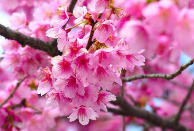 广东最大花海 新丰樱花峪寒绯樱花 八重樱 昭和樱 去赏花啦(1日行程)