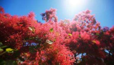 花花世界 坡峰岭|漫步在粉色黄栌花间 寻找初夏最美的颜色(1日行程)