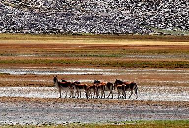 阿里大北线 野生动物的天堂 来自神山圣湖的召唤(13日行程)