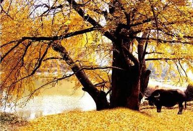 随州银杏谷赏秋 十里画廊看满城银杏叶黄 石来运转走进(1日行程)