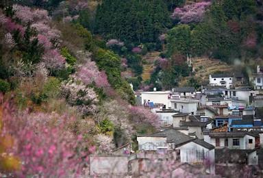 春天花事第一季|卖花渔村,徽州深山里的梅花仙境(2日行程)