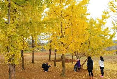 [粤北最美银杏]这个秋天邀您赏百亩银杏林、千年银杏树(1日行程)