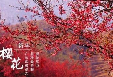 出发韶关新丰樱花峪看樱花+泡温泉(1日行程)