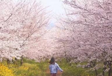 [花季贵州]平坝樱花园+黄果树瀑布+金海雪山+青岩古镇(4日行程)