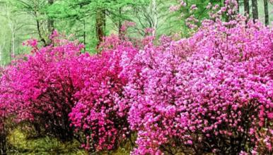 喇叭沟门 高山杜鹃花海 穿越原始白桦林 休闲踏青赏花活动(1日行程)