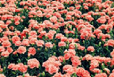 追寻最后的花季 赏京北四季花海 珍珠湖 赏花 摄影 休闲游(1日行程)